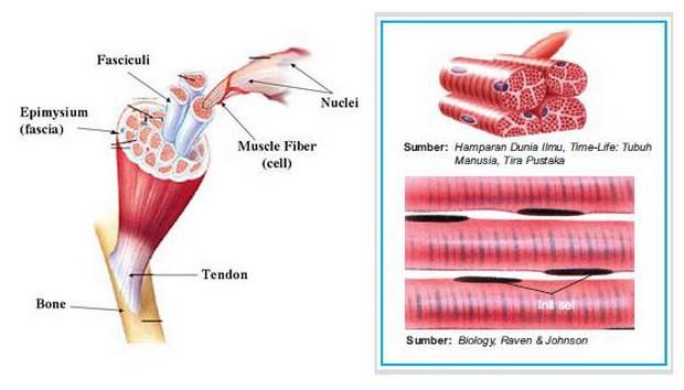 Ciri-ciri Otot Jantung di Dalam Tubuh Kita