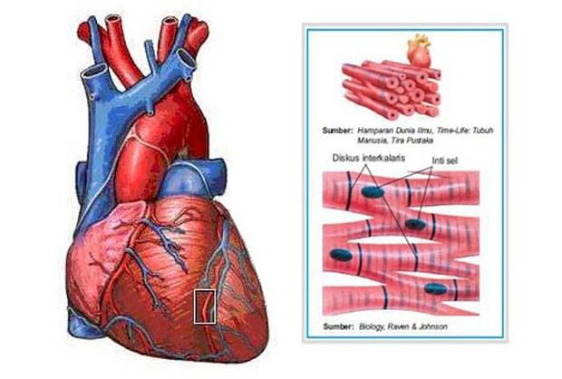 10. ciri ciri otot jantung 2