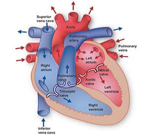 Mengenal Ciri-Ciri Penyakit Lemah Jantung