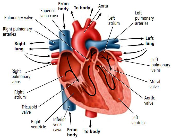 Kenali Jenis Pembuluh Darah dalam Aliran Darah Jantung